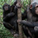 chimpanzee-700-466-65-150x150