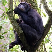 Chimpanzees of kibale NP