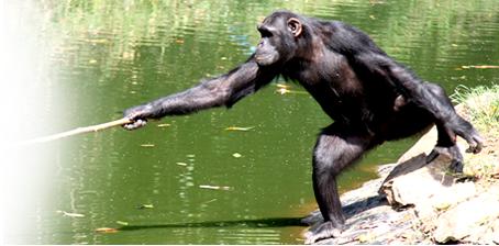 Chimpazee