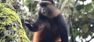 Golden Monkey in Uganda