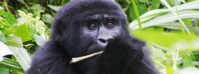 Gorillas 199
