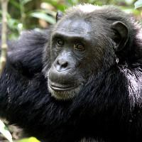 Nyugwe chimpanzee