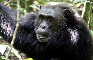 Boat trip to Ngamba Chimpanzee Island