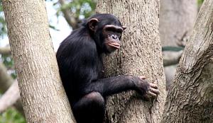 Nyugwe chimpanzee trekking
