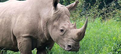 Rhinos at ziwa