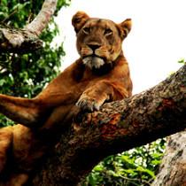 Tree climbing lion