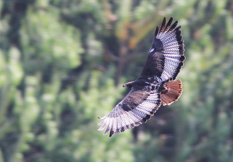 buzzard Augur