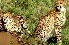 Cheetas in Tanzania