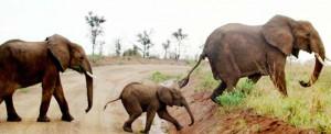 elephant-300x122