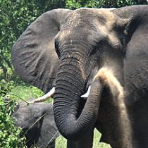 elephants un Queen elizabeth national park