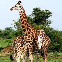 giraffis in  Murchison fall