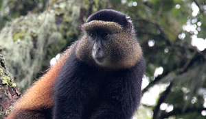 golden monkey rw
