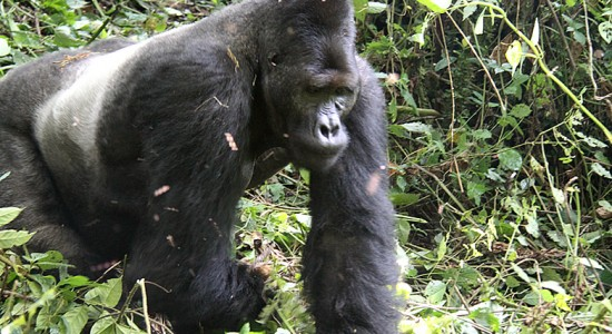 gorillas in Ruhengere
