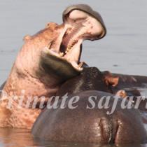 hipopotamus
