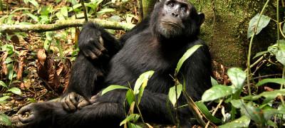 kibale national park chimpanzees habituation