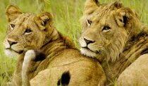 lion-300x122