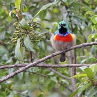 sunbird red