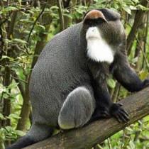 De brazz's monkey