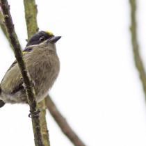 tinker bird