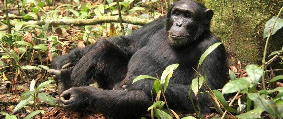 Apes in Uganda