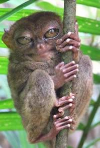 _tarsier