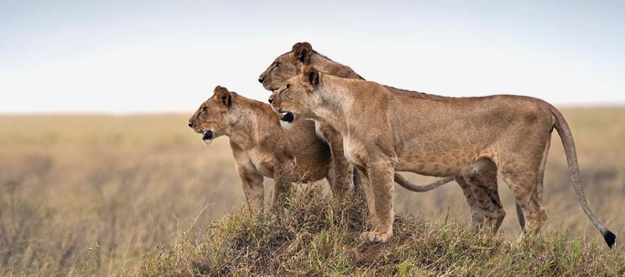 lions of tz